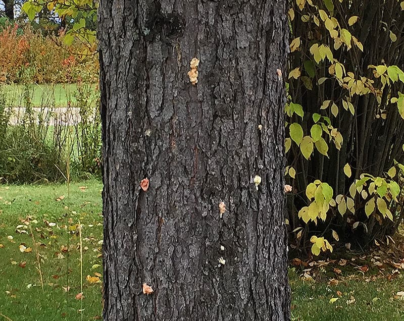 Pine beetle pitch tubes on pine tree trunk (click to enlarge)